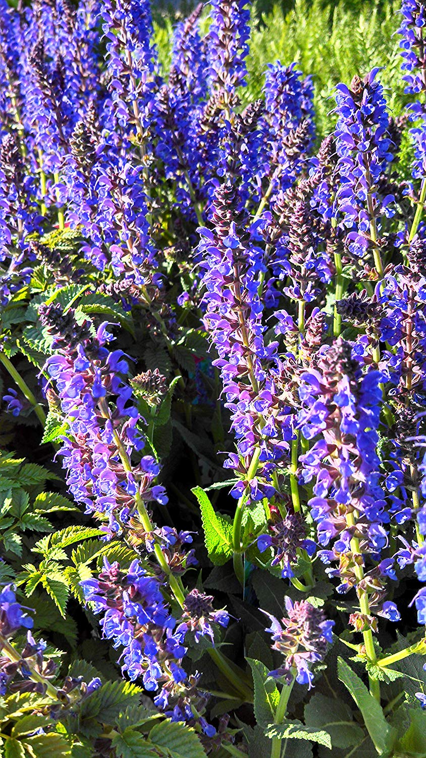 Salvia Nemerosa May Night Sage   Full Sun Well Drained Soil